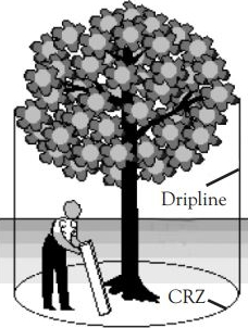 Diagram depicting a person measuring the dripline of a tree